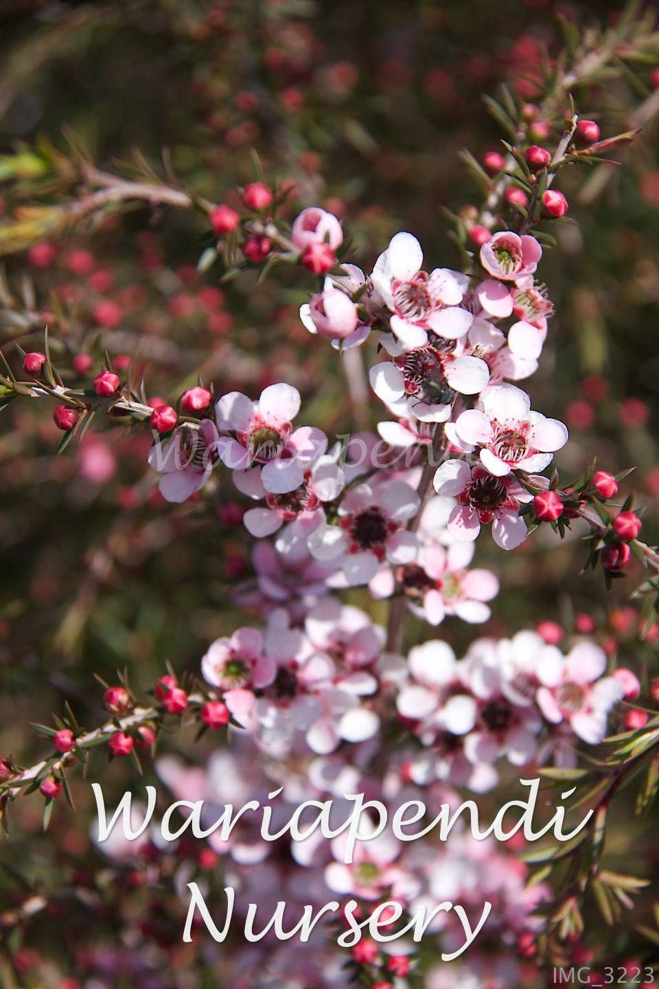 Leptospermum Pink Cascade Produces Masses Of Soft Pink