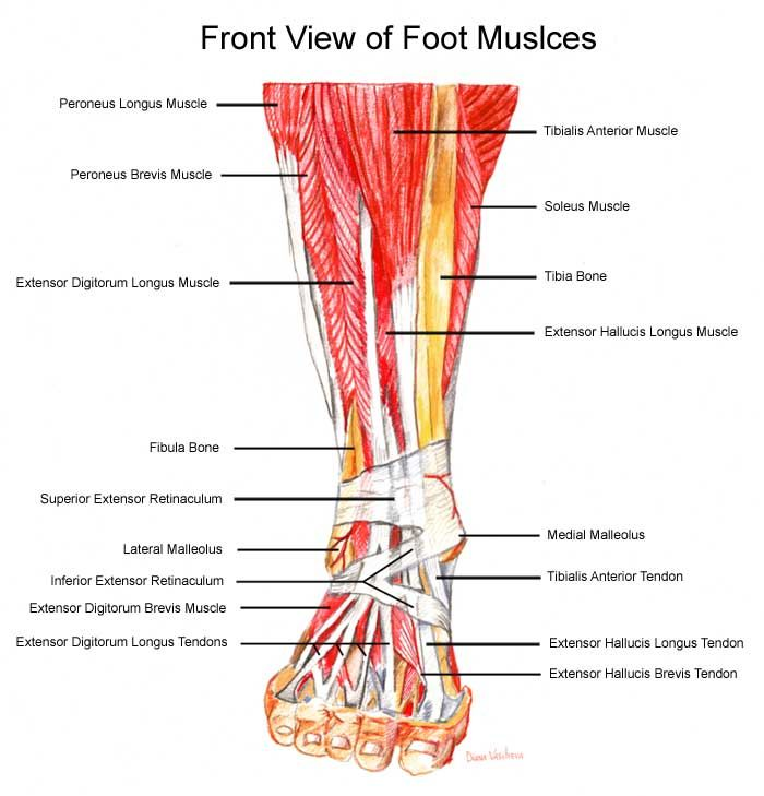 Injury: Top-of-the-Foot Pain | Foot pain, Running and Muscles