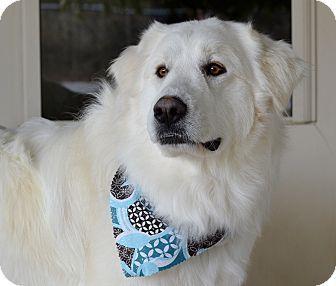 Granbury Tx Great Pyrenees Meet Faith A Dog For Adoption