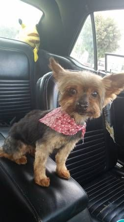 Lost Yorkie Please Help Pacoima C Craigslist Map Data C Openstreetmap Carl St At Laurel Cyn Blvd Google Map Yahoo Map With Images Yorkie Losing A Dog Puppies
