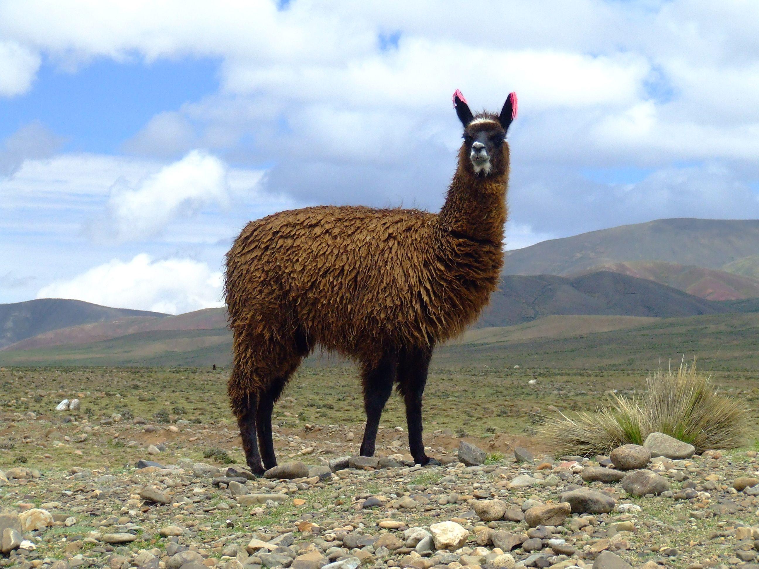 Llama Google Search Animals Pinterest World Llamas And
