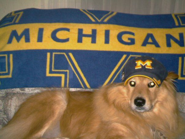 """Chewy"" our U of M fan! Love a beautiful Golden."