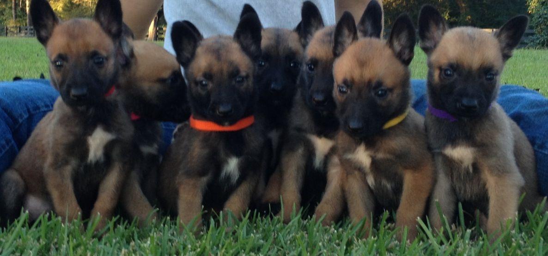 Www Psdkennels Com 601 299 0264 Awesome Belgian Malinois Puppies Malinois Puppies Malinois Belgian Malinois Puppies