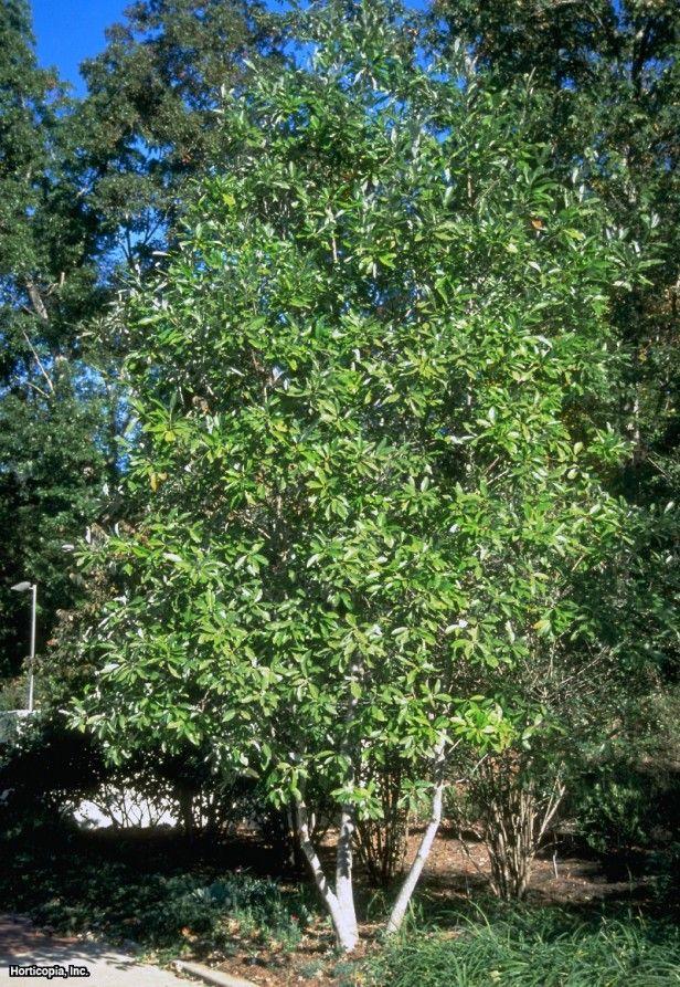 Laurel Magnolia Magnolia Virginiana Hgtv Gardens Deciduous Trees Trees To Plant Shade Trees
