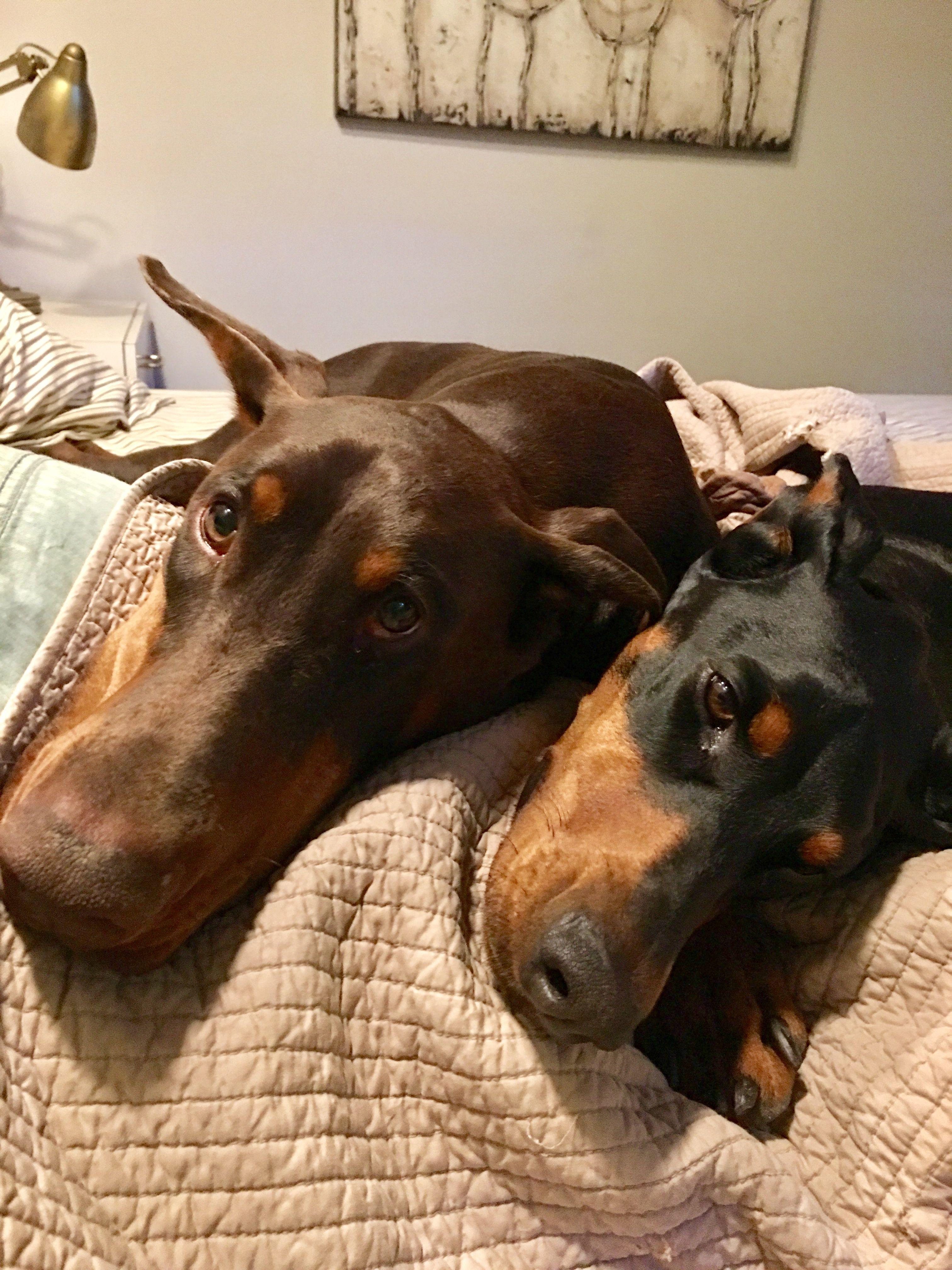 Good Morning Pet Breeds Doberman Pinscher Doberman Love