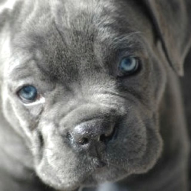 Blue Cane Corso Puppy I Believe This Is A Need Blue Cane Corso Puppies Cane Corso Puppies Cane Corso