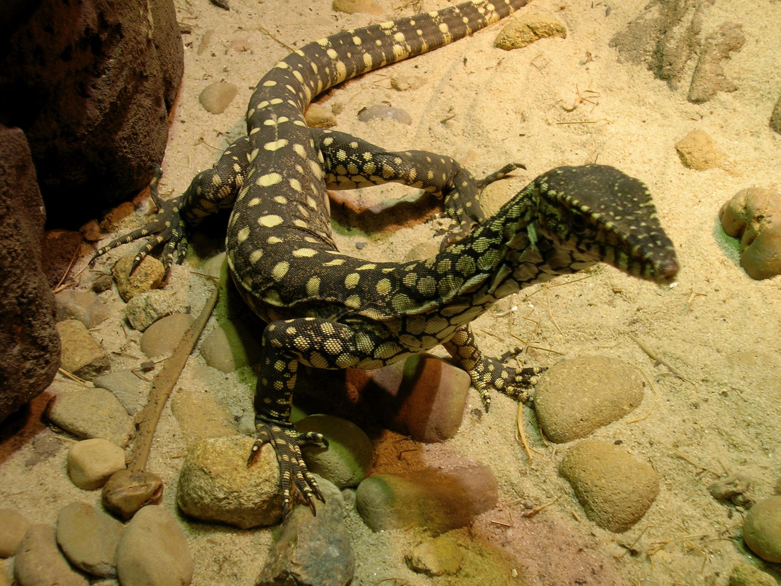 The Monitor lizard is a common name for several lizards