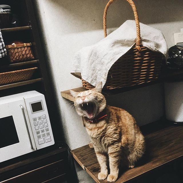 #猫#ねこ#ネコ#ねこのいる暮らし #猫との暮らし #cat #cats #catstagram #ちゃとら #茶とら #古道具#台所