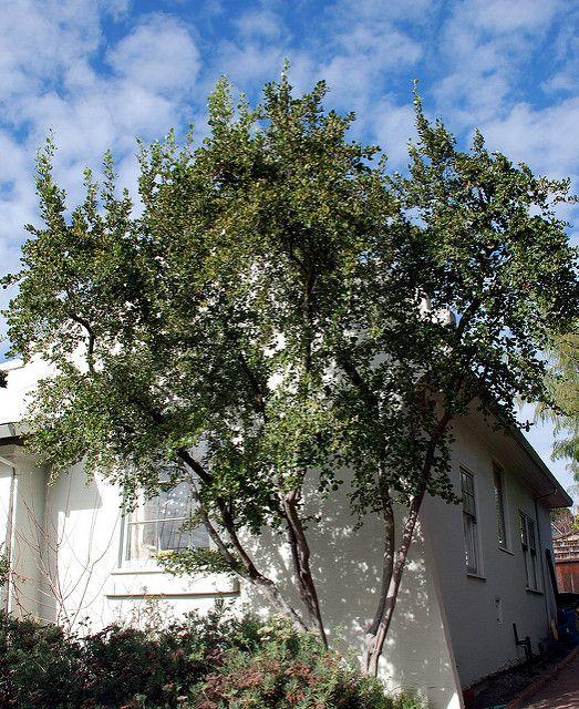 Cercocarpus Betuloides Var Blancheae Catalina Mountain Mahogany