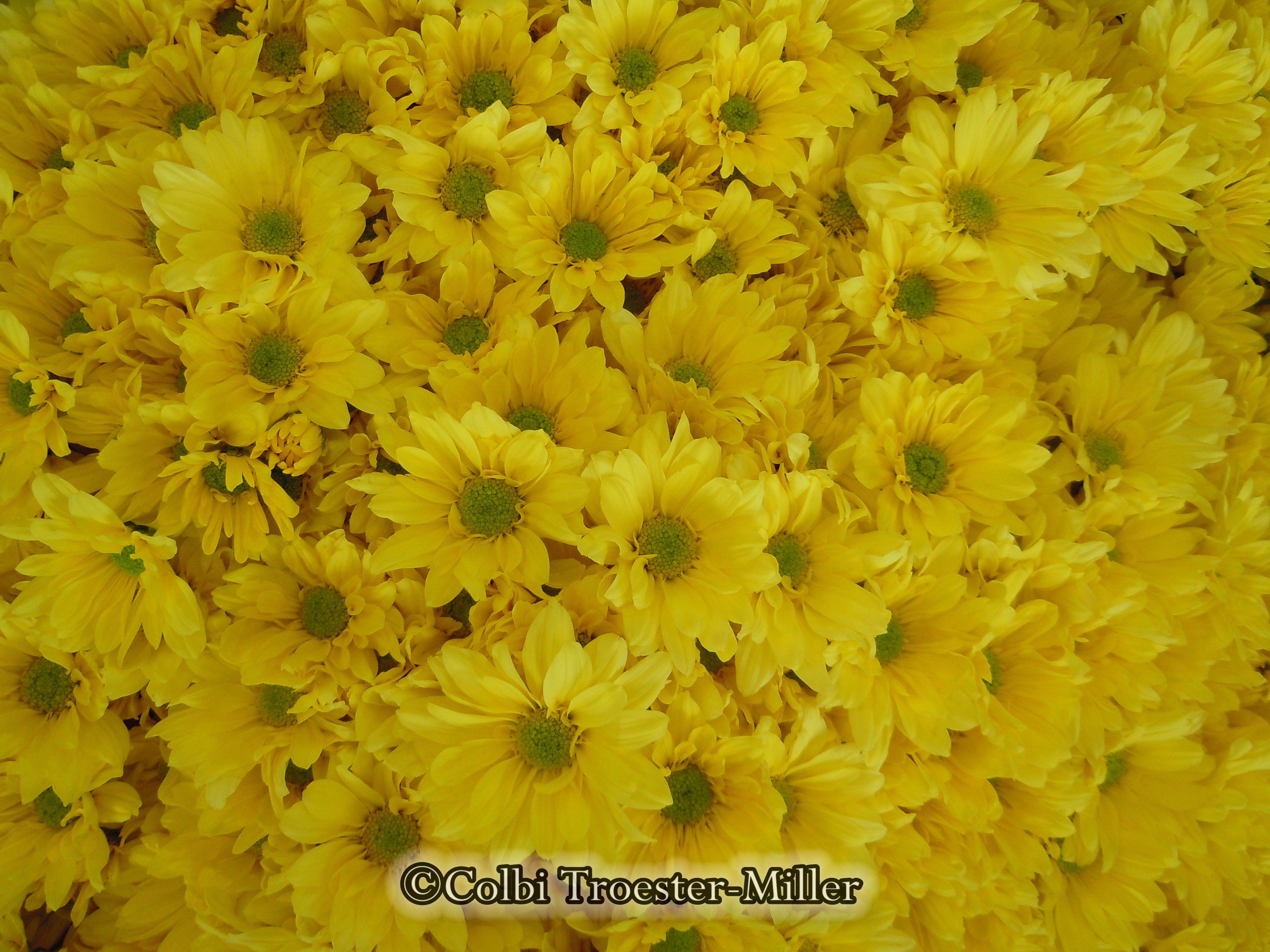 Yellow Chrysanthemums #theflowershopfairoaks