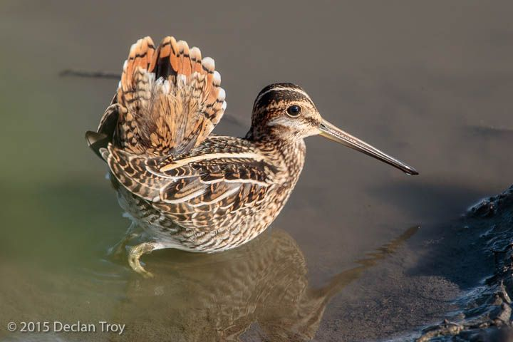 Multi-purpose Tail Sandpiper tails are quite benign features, generally small…