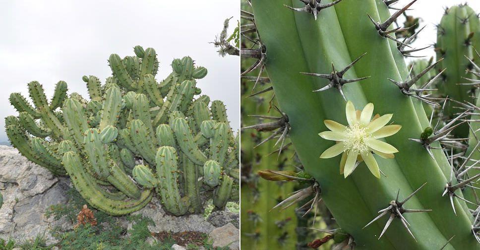 Myrtillocactus Cochal Candelabra Cactus Cactus Blooming Cactus Cacti And Succulents