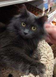 Miss Belle is an adoptable Russian Blue Cat in Olive Branch, MS  My