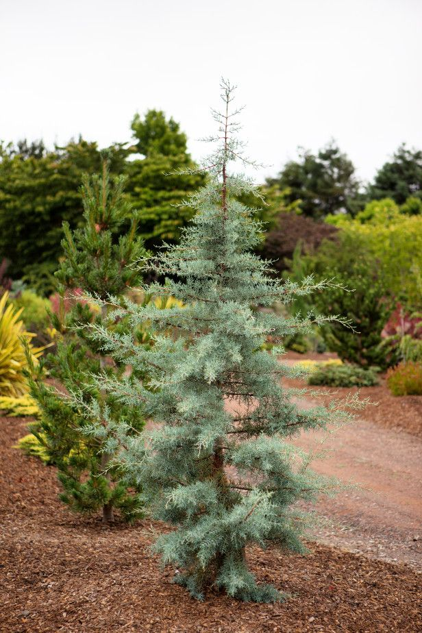 Tree Identification Pictures Conifers Live Christmas Trees