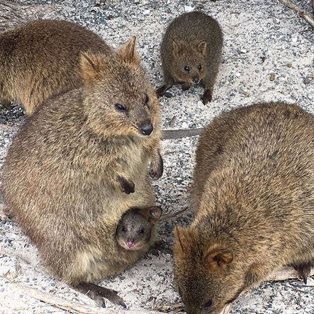 What a cute little Quokka family this is... Rottnest Island WA ...