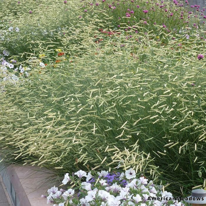 Front Yard Landscaping Ideas Wisconsin Blandscapingb Bb: Blonde Ambition Blue Gamma Grass (Bouteloua Gracilis