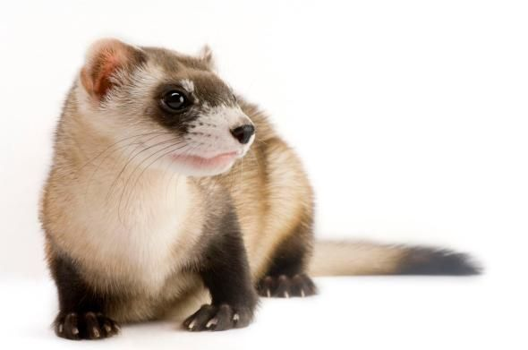 Picture of a black footed ferret