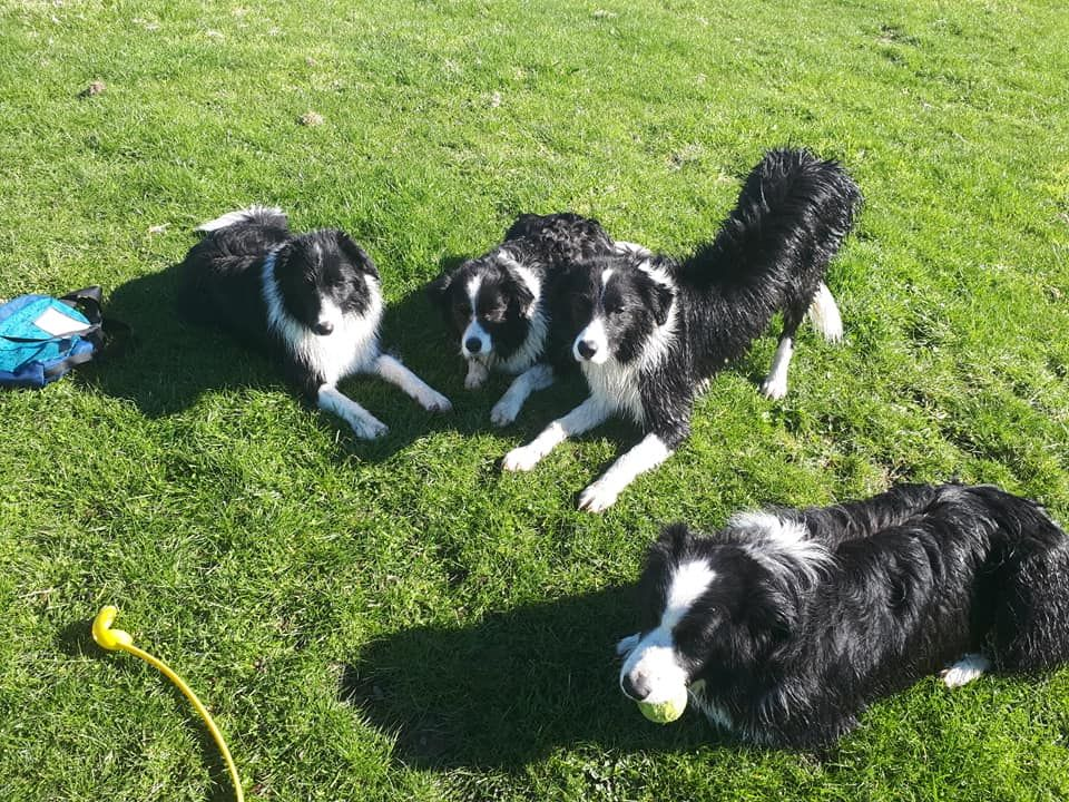 Pin By Kate Stewart On Dogs Border Collie Interesting Animals