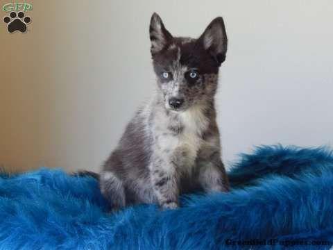 Sebastian Ii Pomsky Puppy For Sale In Virginia Pomsky Puppies Pomsky Puppies