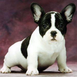 French Bulldog Breeders In Alabama Http Frenchbulldogsusa Com