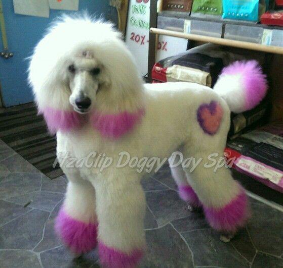 My 11 Month Old St Poodle Vogue Breeder Is Seransil Standard