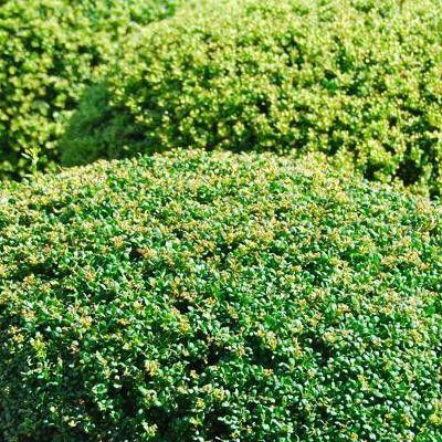 houx buis de bordure ilex maximo plantes de bordure pinterest niveau du sol petites. Black Bedroom Furniture Sets. Home Design Ideas
