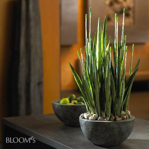 sansevieria schale cactus y suculentas pinterest zimmerpflanzen pflanzen und blumen. Black Bedroom Furniture Sets. Home Design Ideas