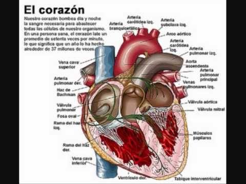Esquema Del Corazon Aparato Circulatorio Educacion Medical Anatomy Human Body Anatomy Medical Student Study