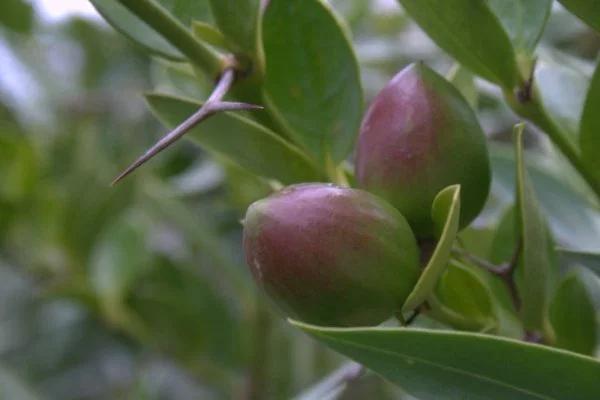 Amatungulu Num Num Jam (CarissaNatal Plum) Natal plum