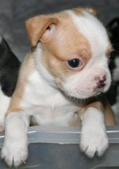 Boston terrier club austin