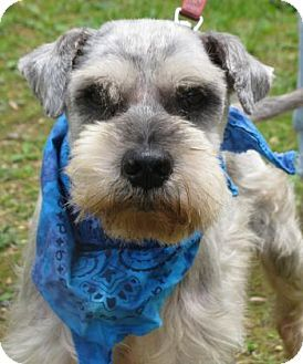 Voorhees Nj Voorhees Animal Orphanage Miniature Schnauzer Mix Meet Titus A Dog For Adoption Http Www Adopta Dog Adoption Schnauzer Mix Kitten Adoption