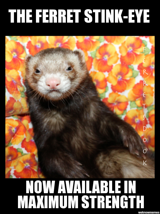 the everyday ferret WeKnowMemes Generator Funny