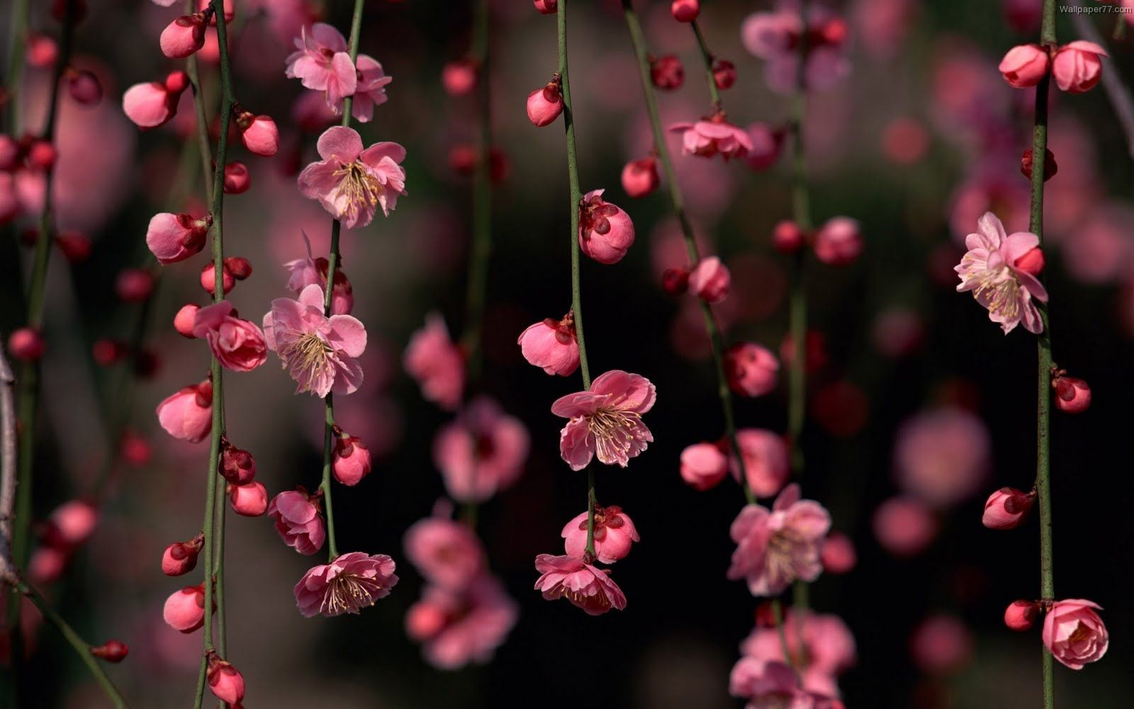 Pink Flowers Wallpapers Pink Flowers Wallpaper Flower Desktop Wallpaper Spring Flowers Wallpaper