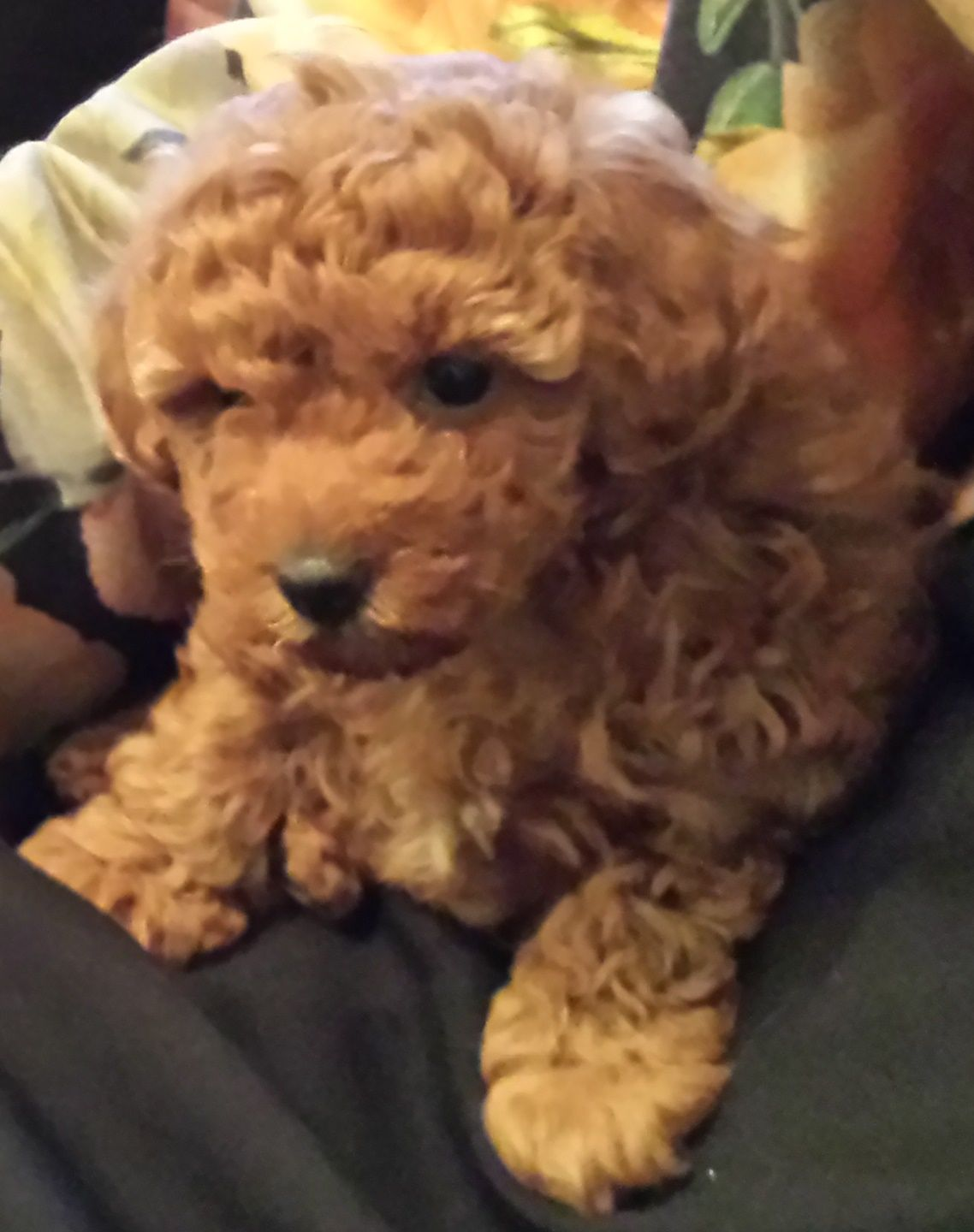 Poodle Pups Available Poodle Puppies For Sale Tea Cup Poodle Teacup Poodle Puppies