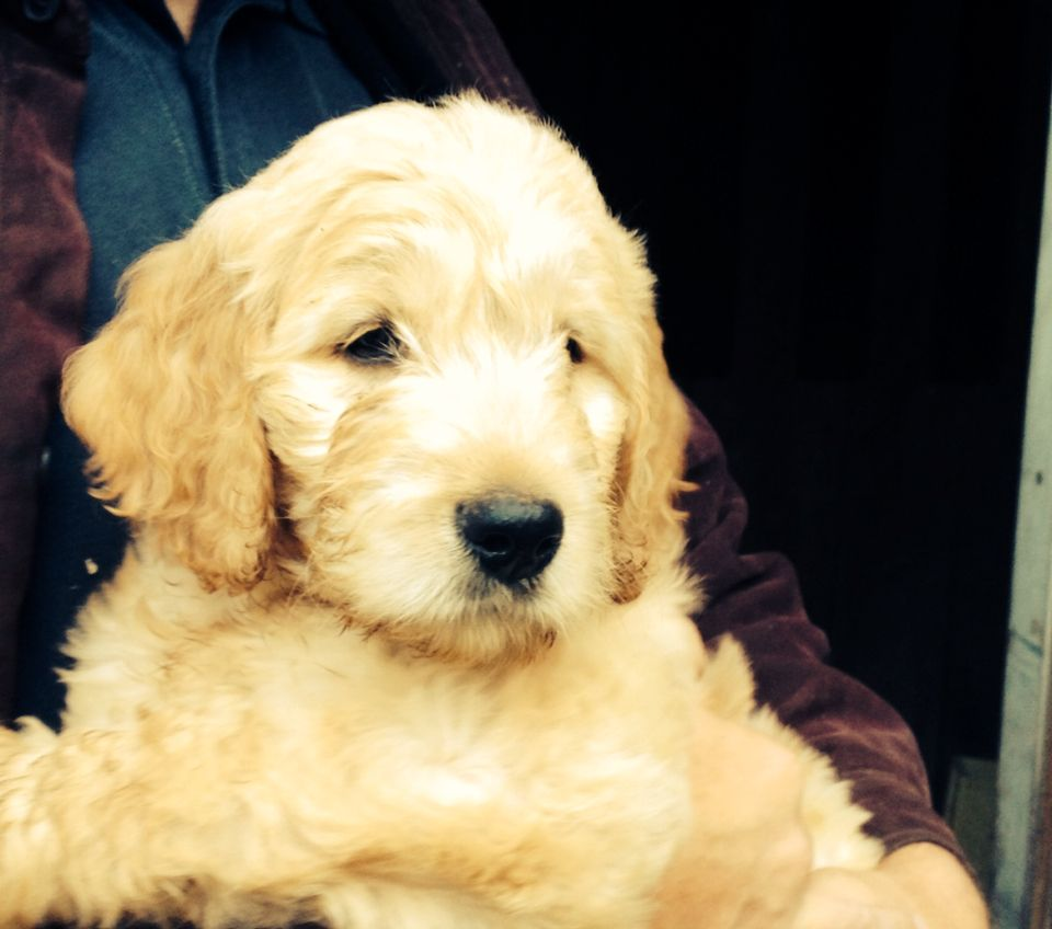 Beautiful 10 week old goldendoodle male puppy looking for