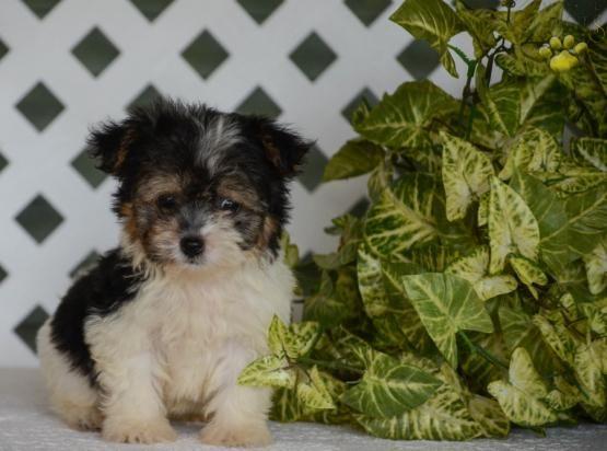 Benji Havanese Puppy For Sale In Millersburg Oh Buckeye Puppies Havanese Puppies For Sale Puppies For Sale Havanese Puppies