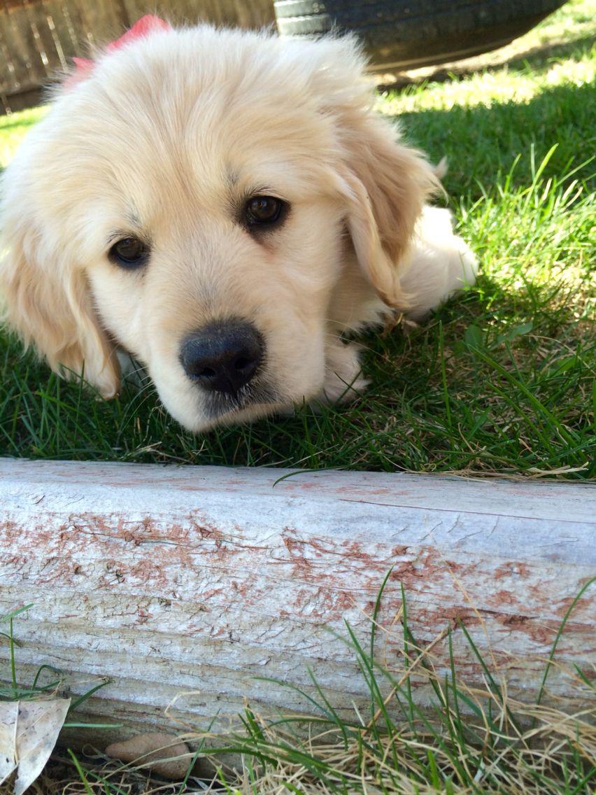 English cream golden Golden retriever, I love dogs, Dog