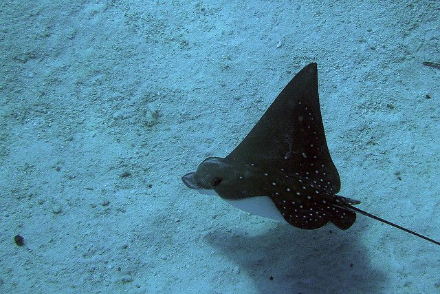 Eagle ray fish. Makunudu Island Resort