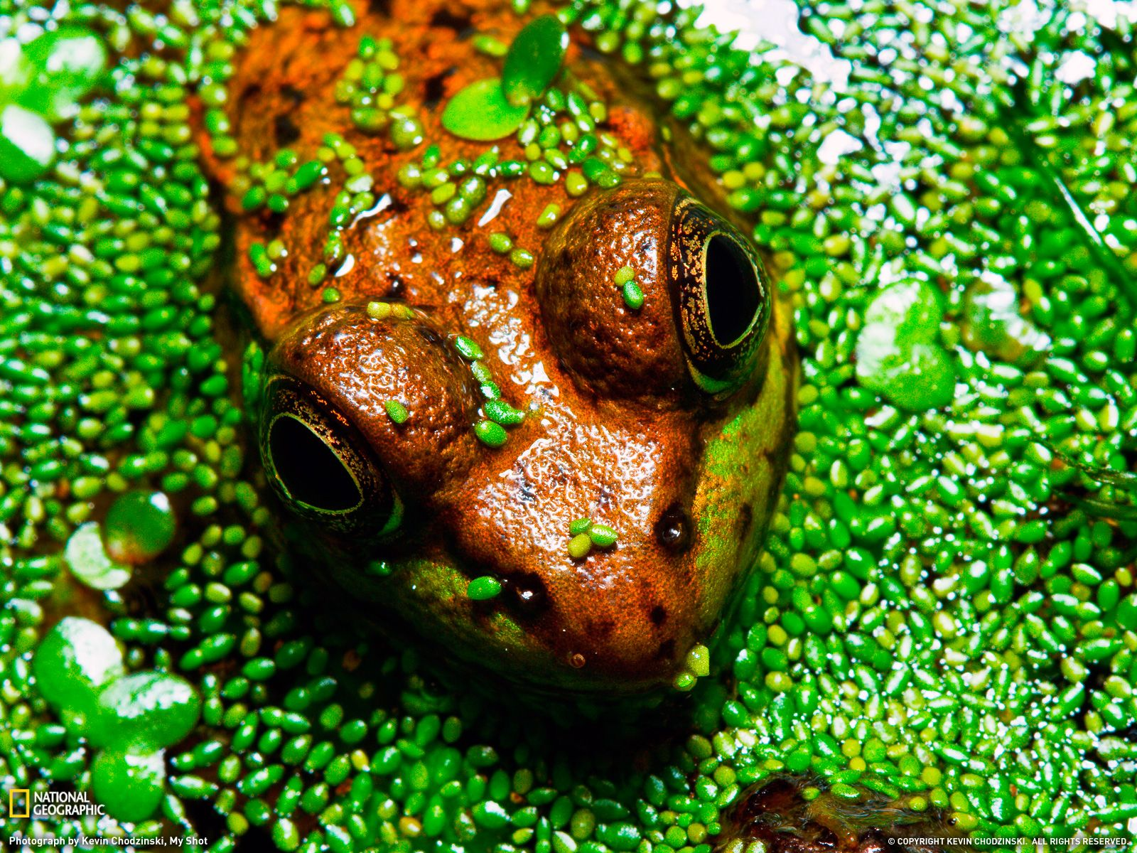 wood frog photo animal wallpaper national geographic photo of the