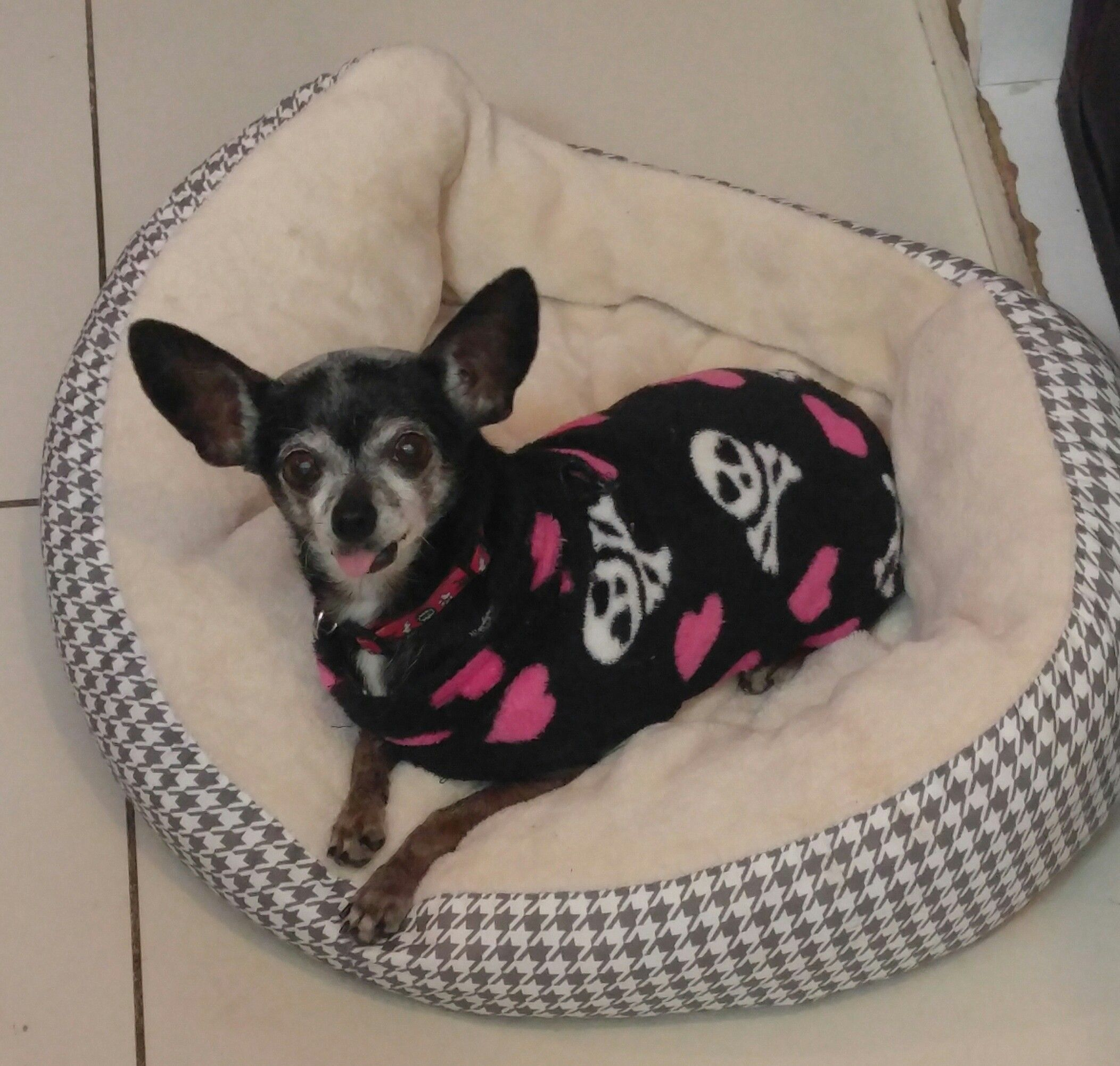Chihuahua Dog For Adoption In Los Angeles Ca Adn 818255 On