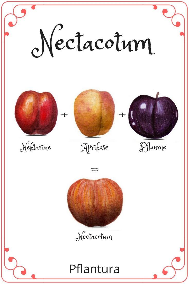 Nektarine Im Garten: Pluot, Aprium Und Peacotum: Interspezifische Hybride