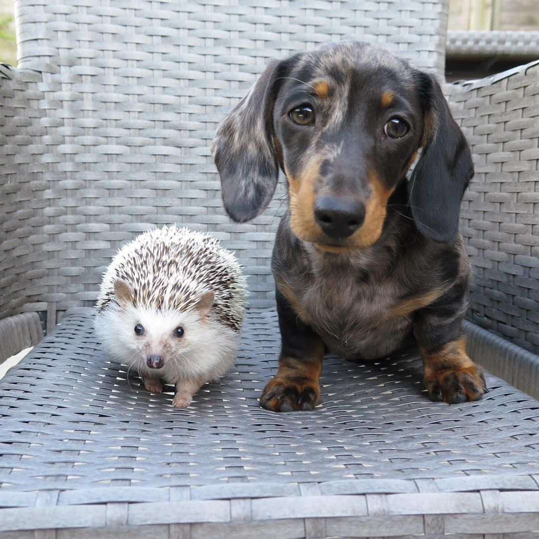 Dachshund Friendly And Curious Dapple Dachshund Cute Animals