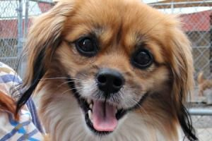 Echo is an adoptable Tibetan Spaniel Dog in Mechanicsburg, PA. Echo, Tibetan Spaniel mix, White/Red, ~15 lbs, ~ 2 yrs old (08/17/12) Initial Assessment: Shy, will need socialization. There is an adopt...