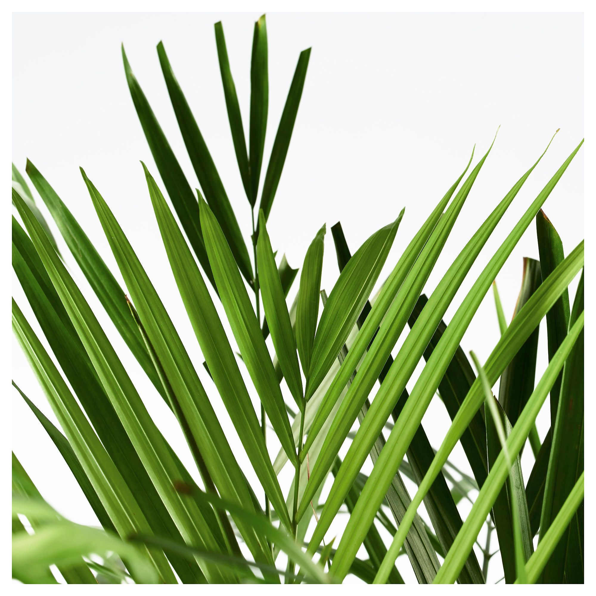 Ikea Palm Tree Dypsis Lutescens Potted Plant Areca Palm 24 Cm Fabulous Foliage