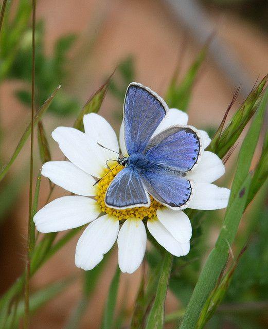 Zephyr Blue (Plebujus pylaon hespericus)