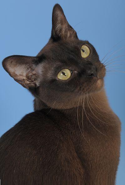 The Burmese Cat Burmese cat, Pedigree cats, Cat breeds
