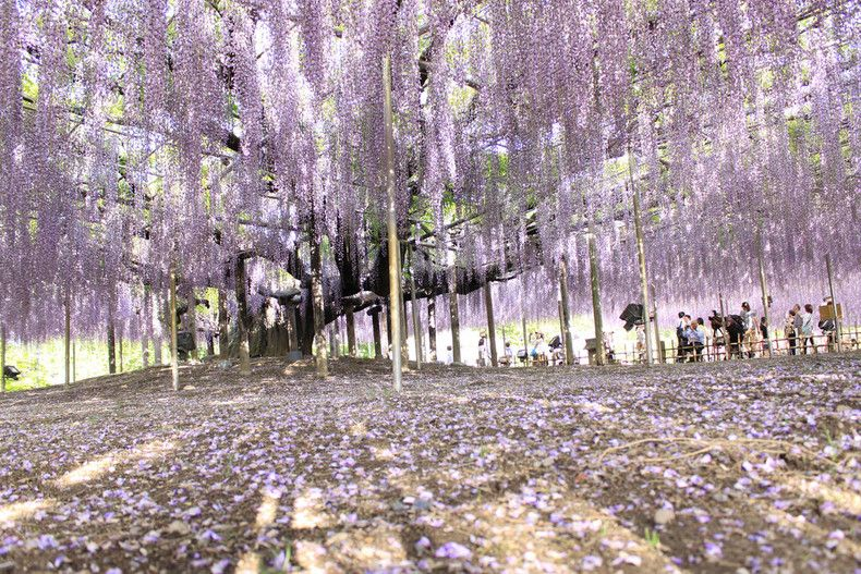 One Of The World S Largest Hanging Wisteria Gardens Flower Festival Day Trips From Tokyo Wisteria Garden