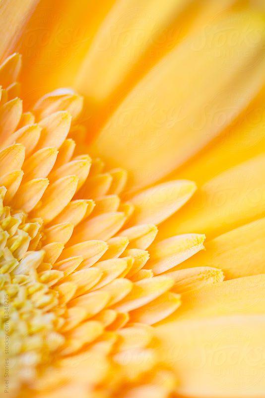 Stock Photo   Yellow Gerbera Macro Detail