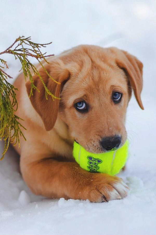 Cute Little Golden Retriever Puppy Playing Fetch in the Snow