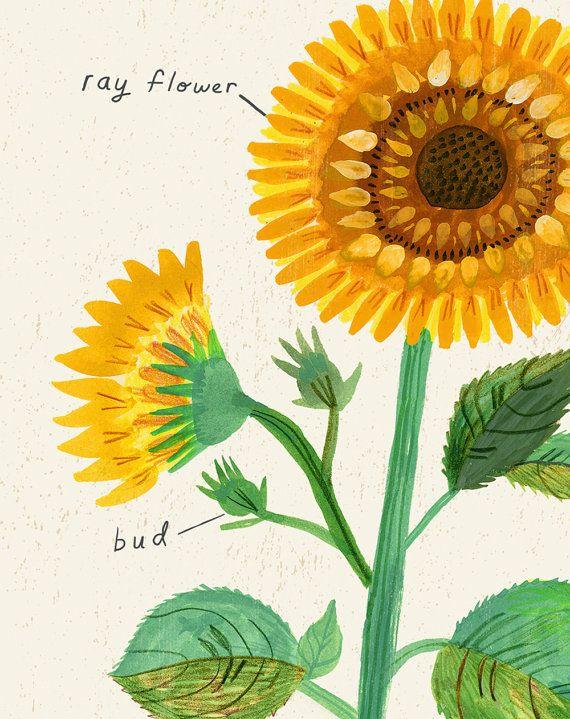 Kansas State Flower Print The Sunflower Etsy In 2020 Kansas State Flower Sunflower Illustration Sunflower